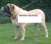 TESTIFY KENNELS OFFER 7 (ENGLISH MASTIF) PUP FOR SALE CALL 09540809687