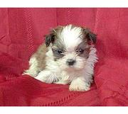 Shih Tzu  puppies for sale.