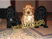 COCKER SPANIEL AMERICAN  PUPS FOR  SALE IN  CHATTISGARH.....