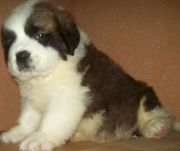 ST.BERNARD PUPPIES @ CAPITALKENNEL 8376988112.