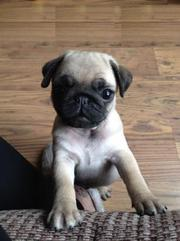 PUG Puppies For Sale SHRADDHAKENNEL @ 9540702606