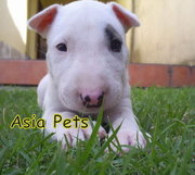 BULLTERRIER Puppies  For Sale  ® 9911293906