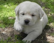 LABRADOR RETRIEVER  PUPPIES FOR SALE  @ ANSHUKENNEL